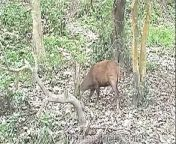 The Indian hog deer (Hyelaphus porcinus) is a small deer whose habitat ranges from Pakistan, through northern India, to mainland southeast Asia, which inhabits much of the Indo-Gangetic Plains of Pakistan, northern India, Nepal, Bangladesh, southwestern Yunnan Province in China, all the way to western Thailand. Introduced populations also exist in Australia the United States and Sri Lanka. It gets its name from the hog-like manner in which it runs through the forests with its head hung low so that it can duck under obstacles instead of leaping over them like most other deer. Cover is taken as soon as it is feasible. During flight, the tail is held erect, showing the white underside. Source - Wikipedia This footage is part of the professionally-shot broadcast stock footage archive of Wilderness Films India Ltd., the largest collection of imagery from South Asia. The Wilderness Films India collection comprises of thousands of hours of high quality broadcast imagery, mostly shot on HDCAM 1080i High Definition, HDV and XDCAM. Write to us for licensing this footage on a broadcast format, for use in your production! We are happy to be commissioned to film for you or else provide you with broadcast crewing and production solutions across South Asia. We pride ourselves in bringing the best of India and South Asia to the world... Reach us at rupindang [at] gmail [dot] com and admin@wildfilmsindia.com